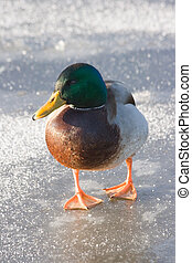 Male mallard standing on the ice - Funny looking male...