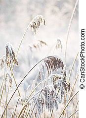Reed with snow in the sun