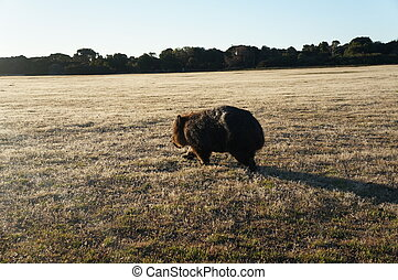 Wombat - A wombat in the Narawntapu National Park, Tasmania,...