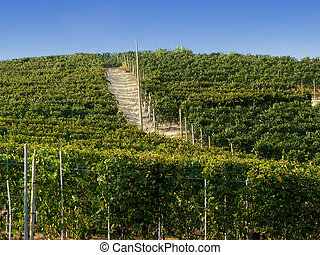 Vines of Barolo - A view of a vine in the Italian little...