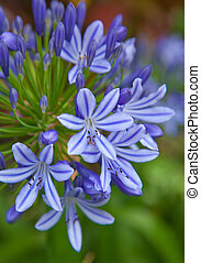 Agapanthus africanus,African lily - blue Agapanthus...
