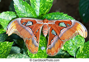Giant Atlas Moth - Giant atlas moth is a butterfly coming...