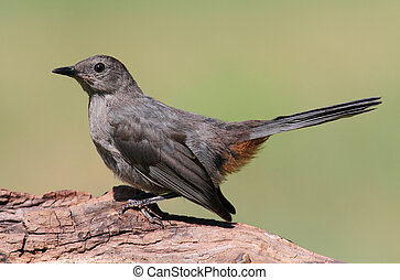 Gray Catbird (Dumetella carolinensis) on a log with a green...