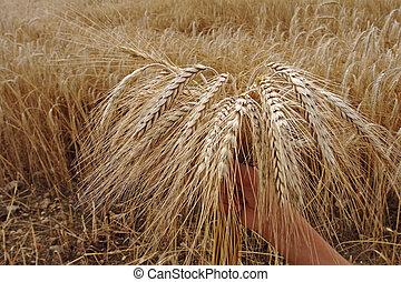 ear of wheat - ripe ear of wheat