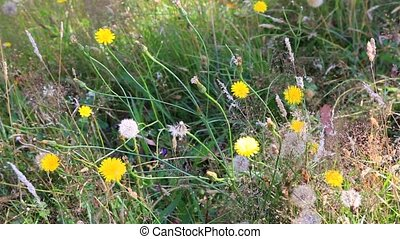 Dandelions and grass