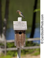 Bluebird with a worm - A male Bluebird perched on a wooden...