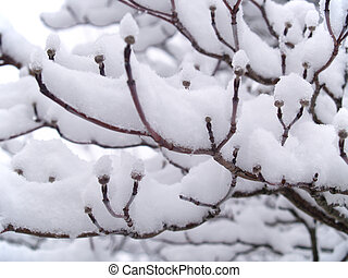 Snow Covered Branches 3 - Snow clinging to the branches of a...
