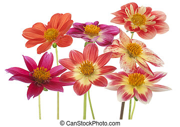 dahlia - Studio Shot of Multicolored Dahlia Flowers Isolated...