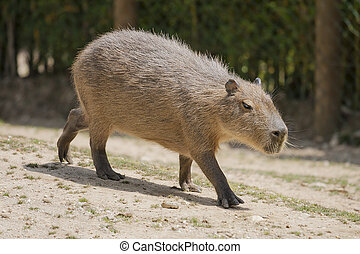 Capybara resting into a empty field
