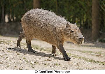 Capybara resting into a empty field