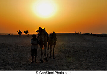 rider with camels at sunset