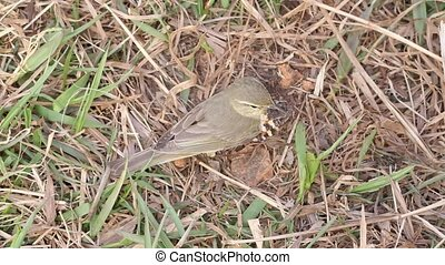 successful hunting of willow warble - willow warbler eats...