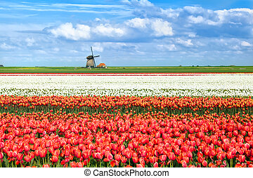 colorful tulip fields in Alkmaar - colorful tulip fields...