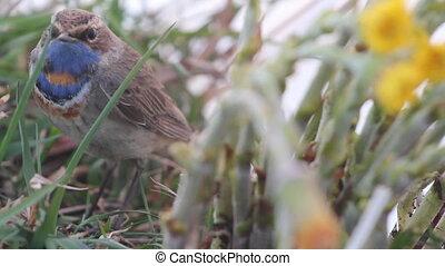 blue-throated robin