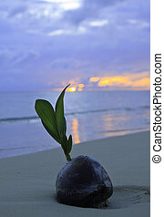 coconut at sunrise on the beach