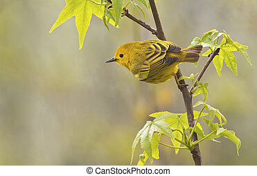 Yellow Warbler Male - Yellow Warbler Dendroica petechia...