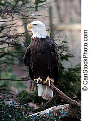Bald Eagle - American Bald Eagle with strong claws sitting...