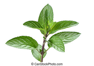 Mint plant - Closeup of green branch of spear mint plant...