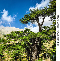 Cedar trees - Cedar woods in the mountains on blue sky...