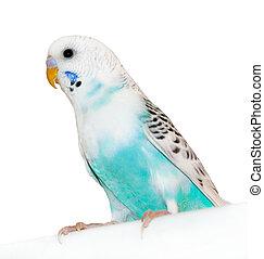 parrot - Grey-blue wavy parrot, poultry