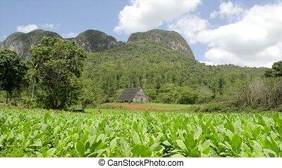 Nature, tobacco plantation in Cuba