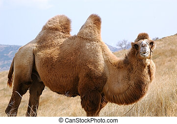 camel - animal camel. summer nature close-up