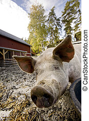 Curious Pig - A curious pig in a pen