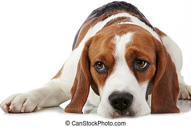 Retrato, jovem, beagle, cão