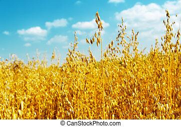 golden oats close up