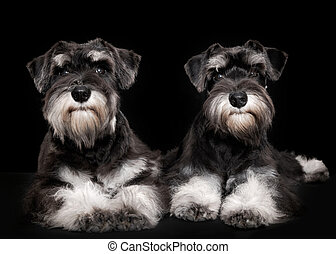 miniature schnauzer puppies five month old