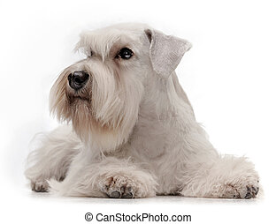 white miniature schnauzer puppy five month old