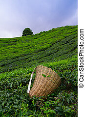 Tea picker bag with fresh leaf over a bush on tea plantation...
