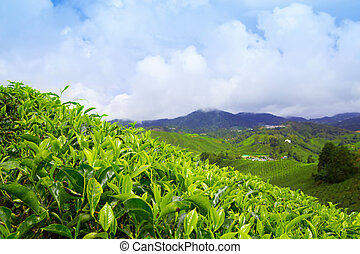 Tea plantation at Cameron Highlands, Malaysia