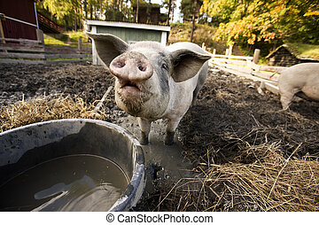 Curious Pig - A curious pig at a watering bowl