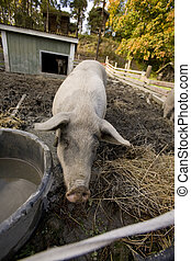Pig Pen - A pig drinking at a watering bowl