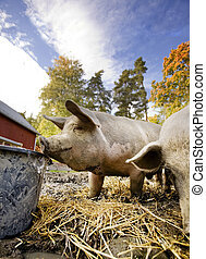 Pig at Water Bowl - A curious pig at a watering bowl