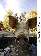Pig at Water Bowl - A pig drinking at a watering bowl