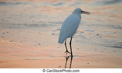 Great White Egret by the waters edge at sunrise,...