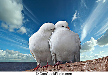 Pigeons - Two beautiful enamoured pigeons on a background of...