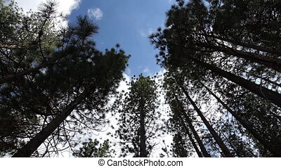 panning shot looking up at tall trees