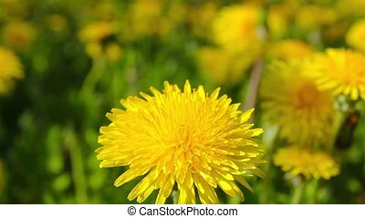 dandelions, shooting slider, macro