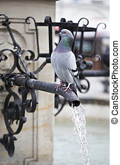 Wild pigeon standing on the fountain