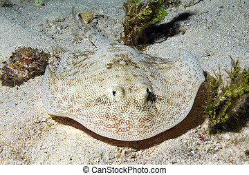 Yellow Stingray (Urobatis Jamaicensis), Cozumel, Mexico