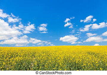 bright yellow canola or rapeseed field and perfect blue sky