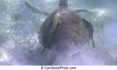 the loggerhead turtle filmed underwater in mexico