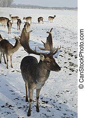 Zoology - fallow deer in winter