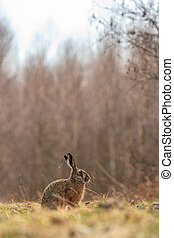 rabbit - cute grey hare standing on the grass, nature series