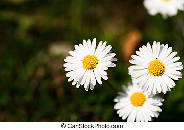 White daisies in a green meadow - Green grass and chamomiles...