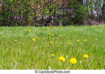 Dandelion Meadow - Field of spring flowers and perfect sunny...