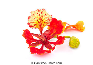 Pride of Barbados, Isolated on white